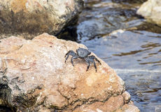 Crab on a stone Stock Image