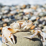 Crab on a stone Stock Photo