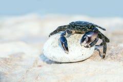 Crab on stone Stock Photo