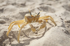 Crab in the Sun Royalty Free Stock Photo