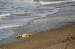 Crab on the surf line Royalty Free Stock Photo
