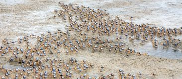 Crab swarm. A swarm of blue soldier crabs on mud Stock Image