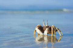 Crab on the tropical beach Stock Photography
