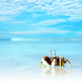 Crab on the tropical beach. Reflection of crab on the tropical beach Stock Photo