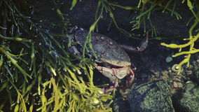 Crab Trying to Hide Underwater. During a Low Tide Period stock footage