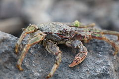 Crab on vulcanic stones at beach Stock Images