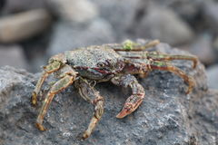 Crab on vulcanic stones at beach. Crab on vulcanic stones at coast Royalty Free Stock Photos