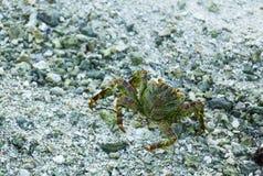 Crab Walk. Ing along the beach in Bora Bora Stock Photography