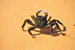 Crab Walking. Crab lost in Champagne pools, Fraser Island, Australia stock images