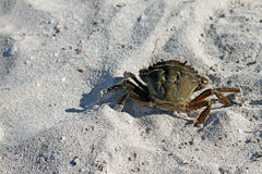 Crab walking on the beach sand Stock Image