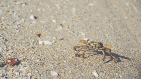Crab walking on the sand of the beach Royalty Free Stock Image