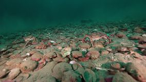 Crab walking scallop underwater on seabed of Barents Sea on Kamchatka.