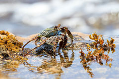 Crab water Stock Images