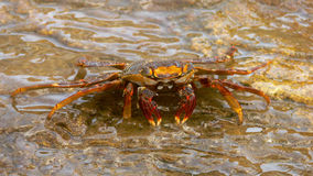 Crab at the Waterfall Royalty Free Stock Photography