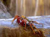 Crab at the Waterfall stock photography