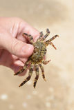 Crab. Wet Sea Crab in hand Stock Images