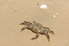 Crab. Wet Sea Crab on sand Stock Image