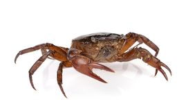 Crab on white background. The crab on white background Royalty Free Stock Images