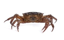 Crab on white background. The crab on white background Stock Photos