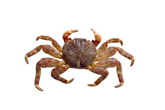 Crab on a white background Royalty Free Stock Images