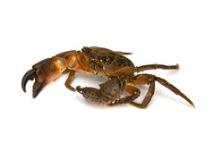 Crab on white background Royalty Free Stock Photography