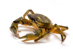 Crab on white Royalty Free Stock Photo