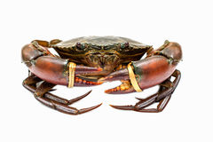 Crab. On white color background Royalty Free Stock Photography