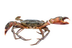 Crab. On white color background Stock Image