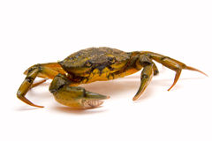 Crab on white Stock Images