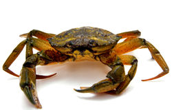 Crab on white Royalty Free Stock Photos