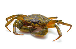 Crab on white Stock Photography