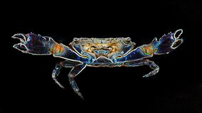 Free Crab With Big Claws About To Fight, This Crustacean Is A Formidable Fighter. Macro Photo Stock Photo - 197455300