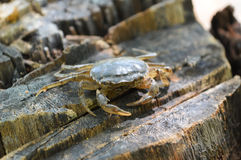 Crab on wood. A close up crab on wood Royalty Free Stock Photos