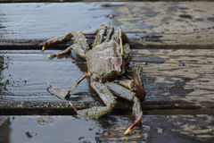 The crab on wooden Stock Image