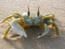 Crab. Yellow crab on the sand stock image