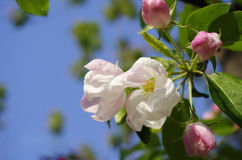Crabapple开花在春天的树花 免版税库存图片