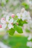 Crabapple树开花 库存照片