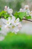 Crabapple树开花 免版税图库摄影