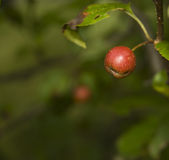 Crabapple. Crab apple hanging by its stem  on the tree Royalty Free Stock Image