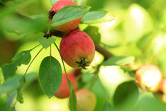 crabapple stockbilder