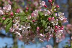 Красивое Crabapple весной Стоковые Изображения