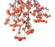 Crabapple Royalty Free Stock Photos