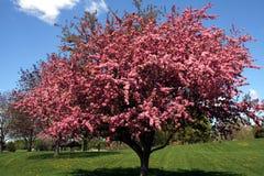 Crabapple Baum stockfotos
