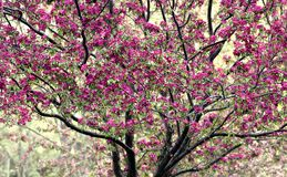 Crabapple Baum in der Blüte Stockfotos