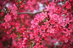 Crabapple. Stock Images