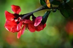 Crabapple blüht im Frühjahr Stockbild
