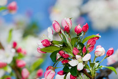 Crabapple Blüten Lizenzfreie Stockfotografie