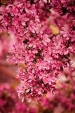 Crabapple blommacloseup i vårträdgård Royaltyfri Fotografi