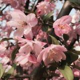 Crabapple blommor Arkivbild
