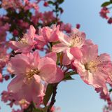 Crabapple blommor Fotografering för Bildbyråer